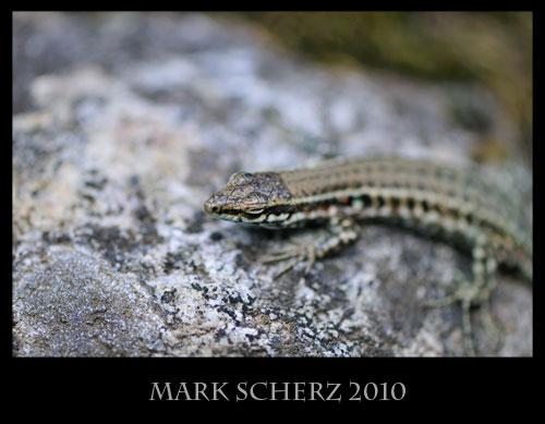 Tyrrhenian Wall lizard, Podarcis tiliguerta, Corsica 2