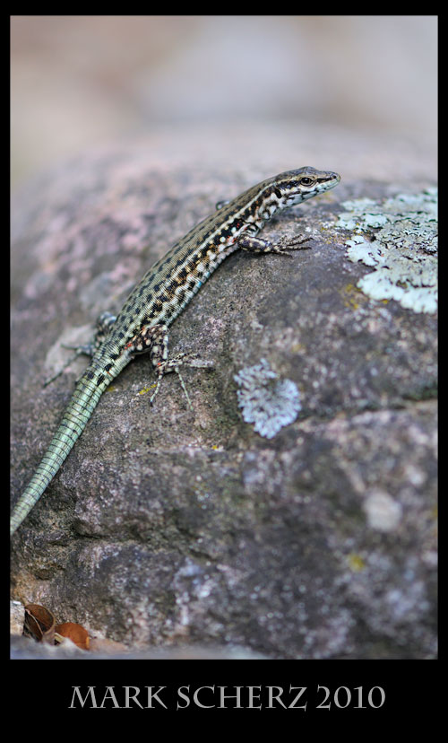 Tyrrhenian Wall lizard, Podarcis tiliguerta, Corsica 3