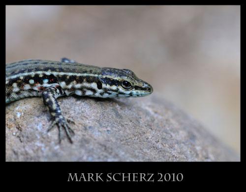 Tyrrhenian Wall lizard, Podarcis tiliguerta, Corsica 4