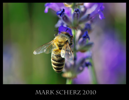 Breaking the rules - honey bee, Apis melifera, visiting a lavender flower