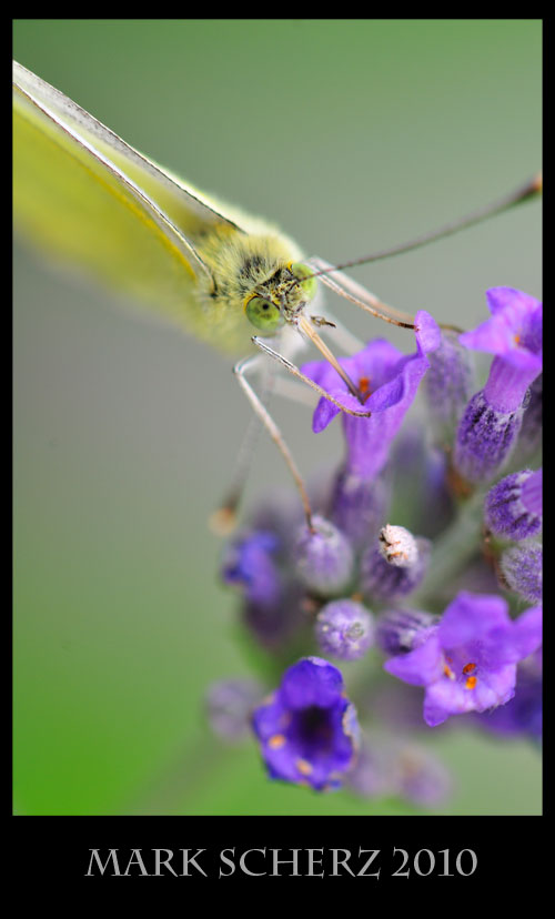 Cabbage white sipping nectar 2