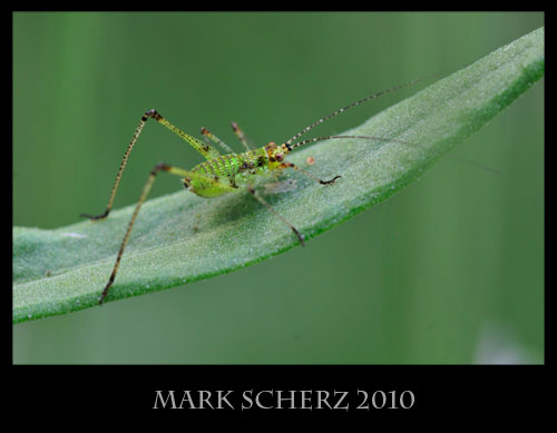 Cricket on lavender leaf