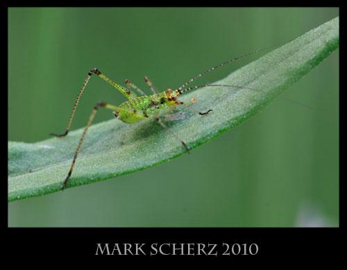 Cricket on lavender leaf