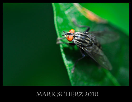 Flesh fly on rhododendron