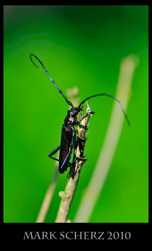 Grand Capricorne Long Horn Beetle