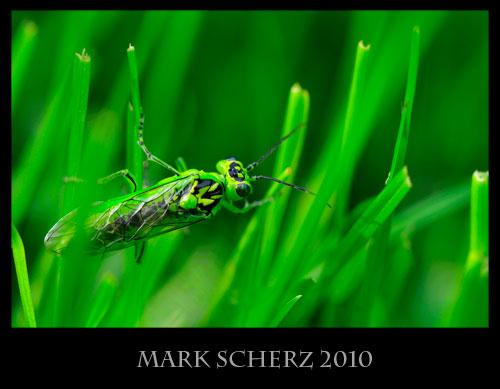 Green sawfly, Rhogogaster viridus, in grass 2