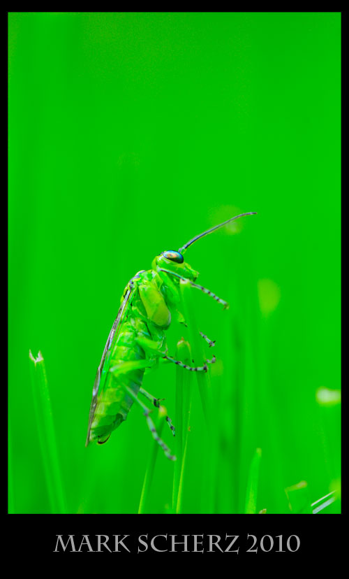 Green sawfly, Rhogogaster viridus, in grass 3