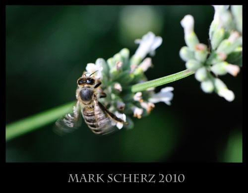 Honey bee on white lavender 2