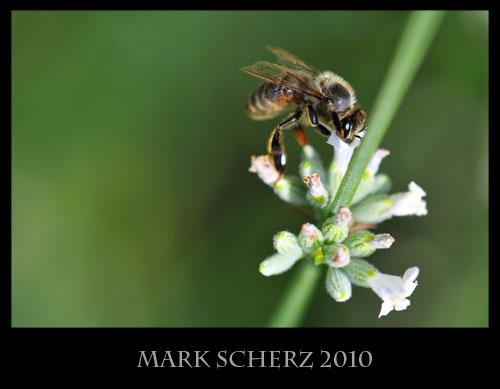 Honey bee on white lavender 3
