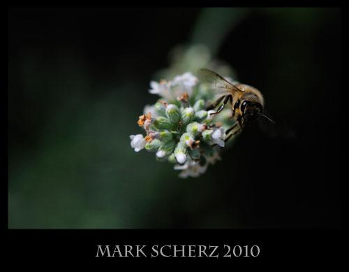 Honey bee on white lavender