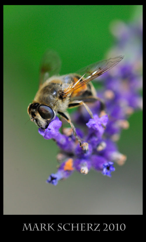 Hoverfly on lavender 1