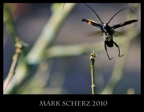 Long horn beetle in flight