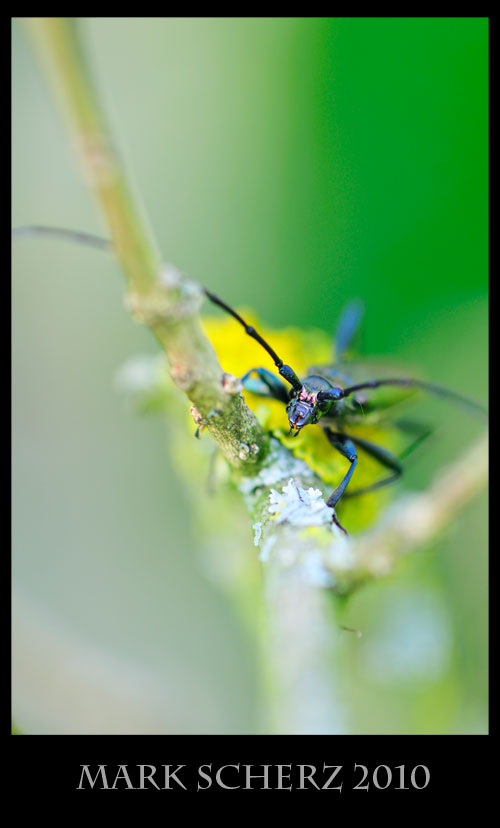 Long horn beetle on lichen