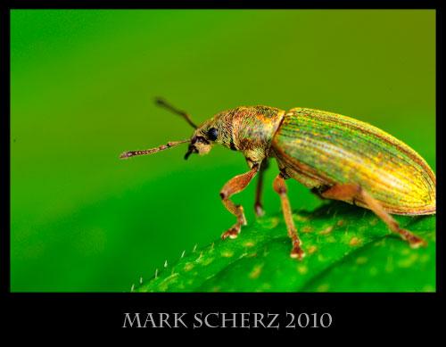 Nettle weevil, Phyllobius sp., super macro