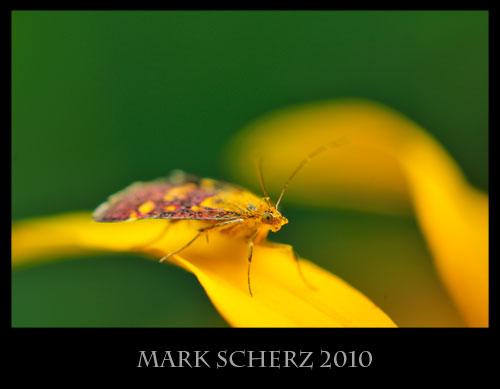 Snout moth, Pyrausta sp., macro