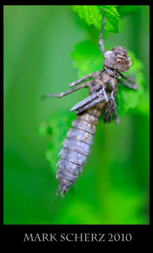 The husk of a damselfly larva