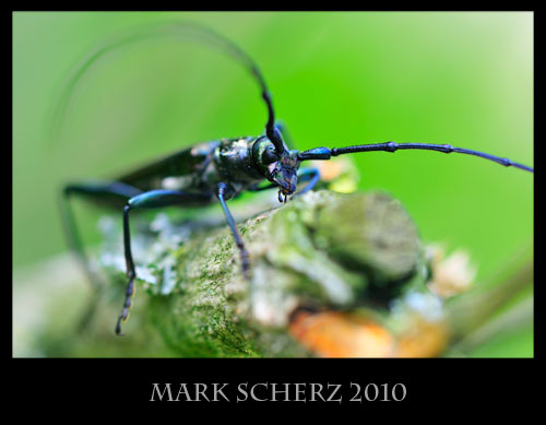 True macro long horn beetle