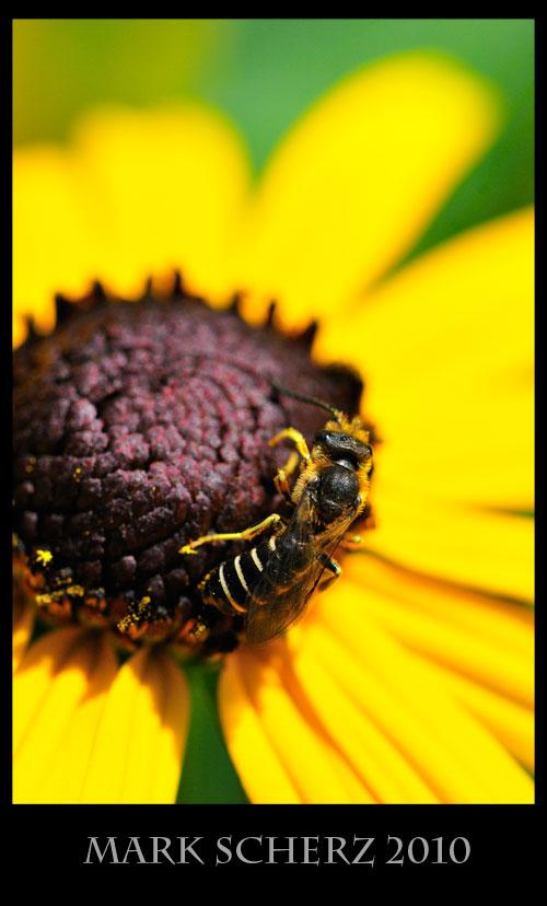 Wasp on black eye 1