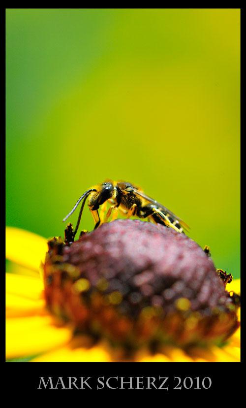 Wasp on black eye 2