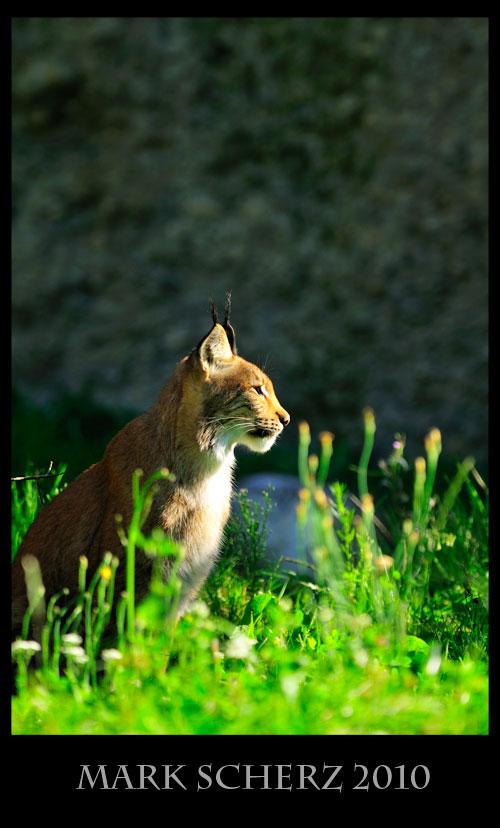 Eurasian Lynx in Lange Erlen