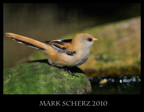 Bearded Tit on a Rock