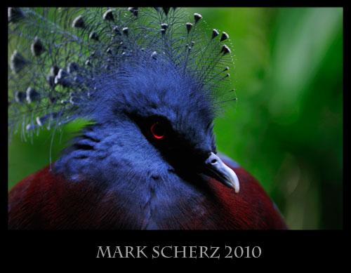 Victoria Crowned Pigeon in Edinburgh Zoo