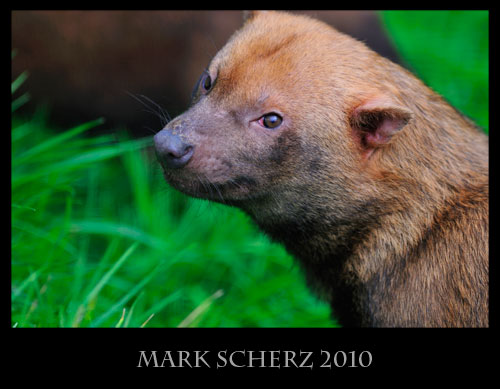 Bush Dog looking baleful