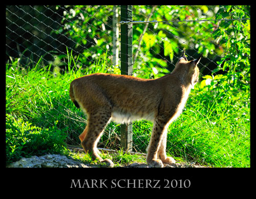 Caged Lynx