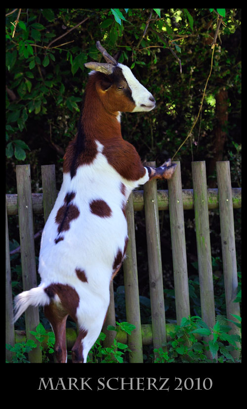 Goat on a fence