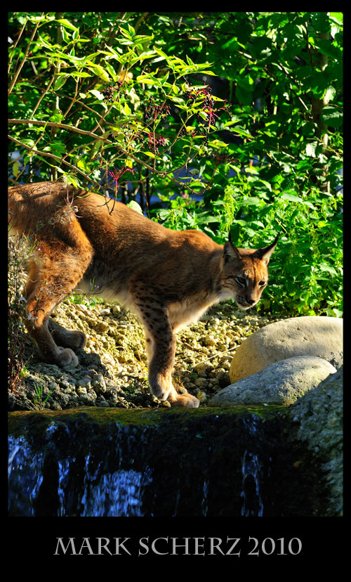 Lynx testing the water