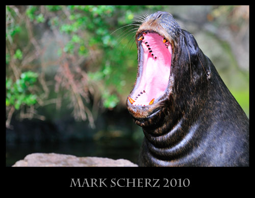 Patagonian sea lion yawn