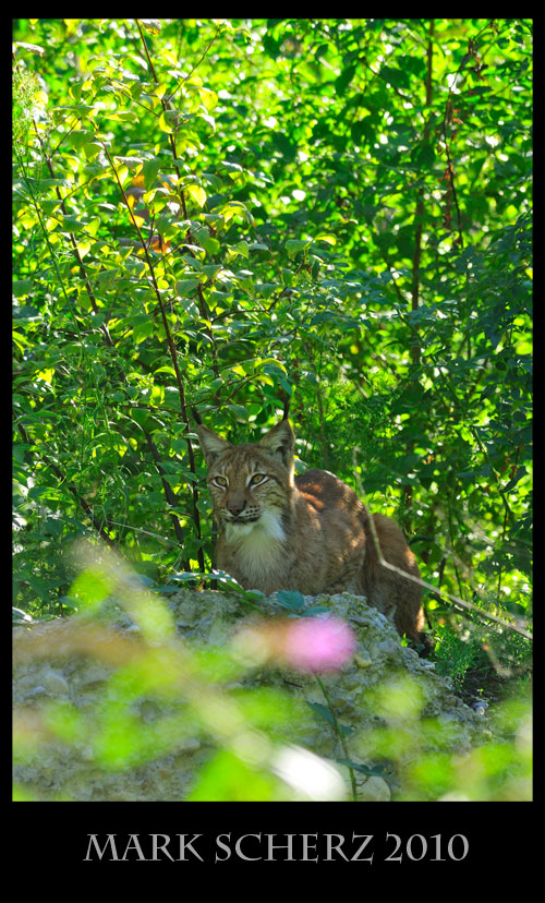 Perched Lynx in Lange Erlen