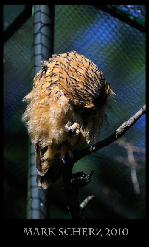 Preening Eagle Owl