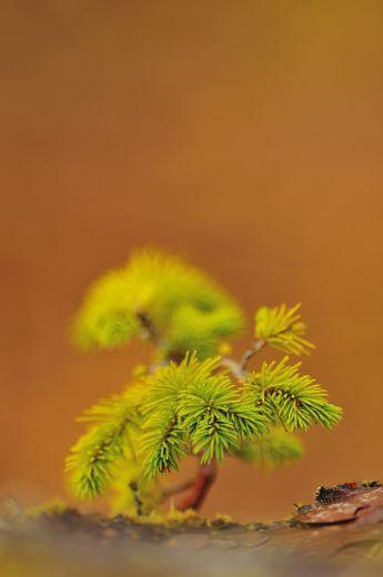 Miniature scots pine