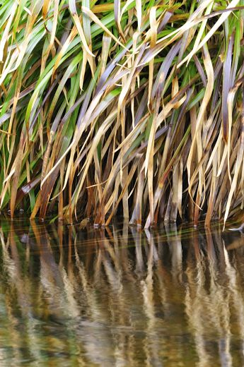 bank of reeds drooping into the water