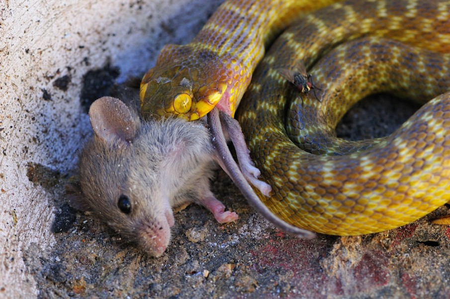 The Travelling Taxonomist - Snakes of Madagascar: Cultural ... - photo#43