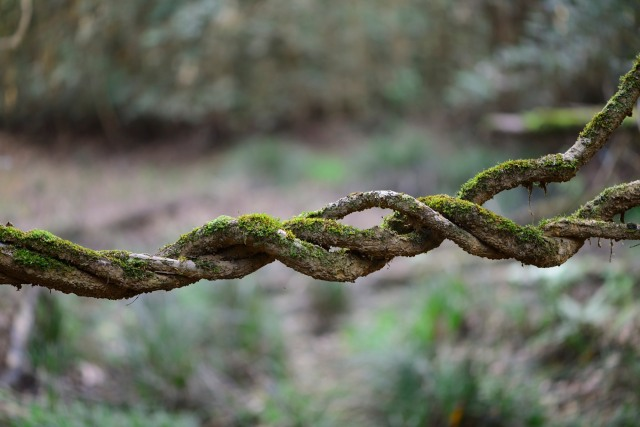 Twisted vines hang low across a clearing in the middle of the forest