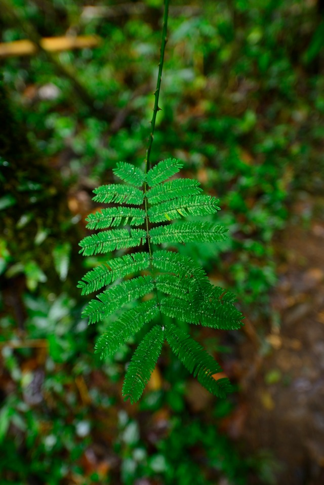 Some plants have shocking armament, even in the rainforest.