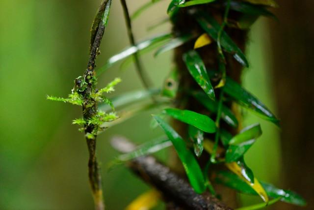 Gregarious moss