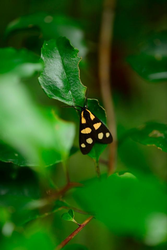 An aposematically coloured moth