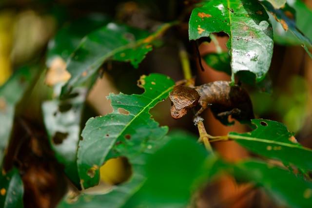 Uroplatus phantasticus as found