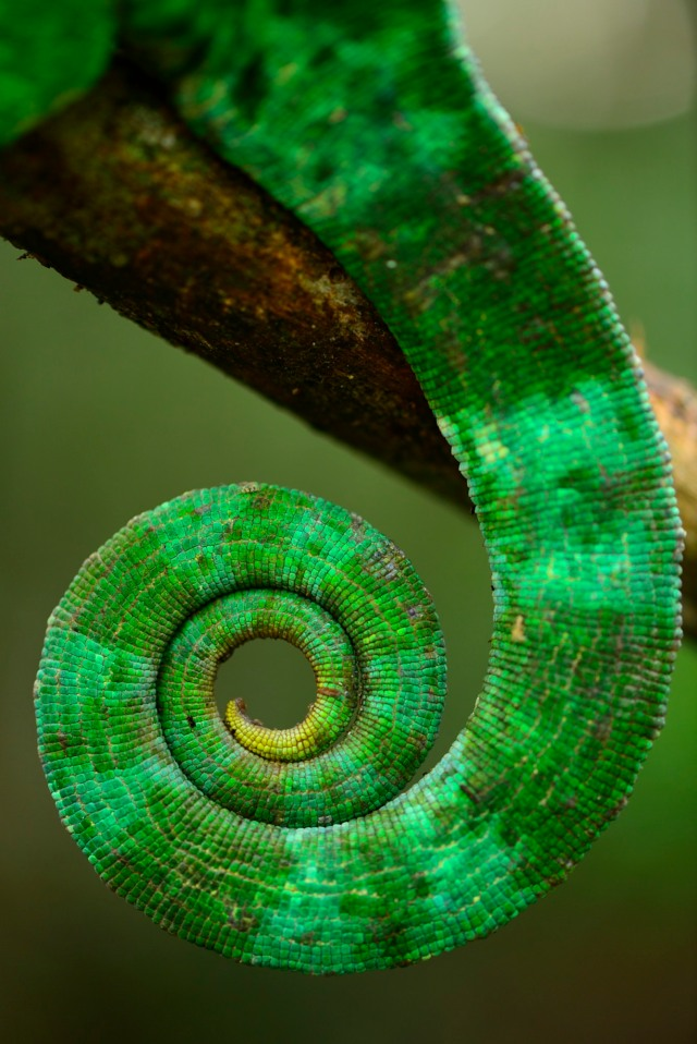Parson's tail