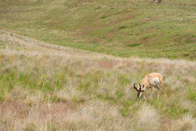 A grazing pronghorn