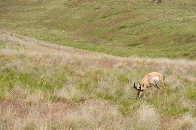 A grazing pronghorn