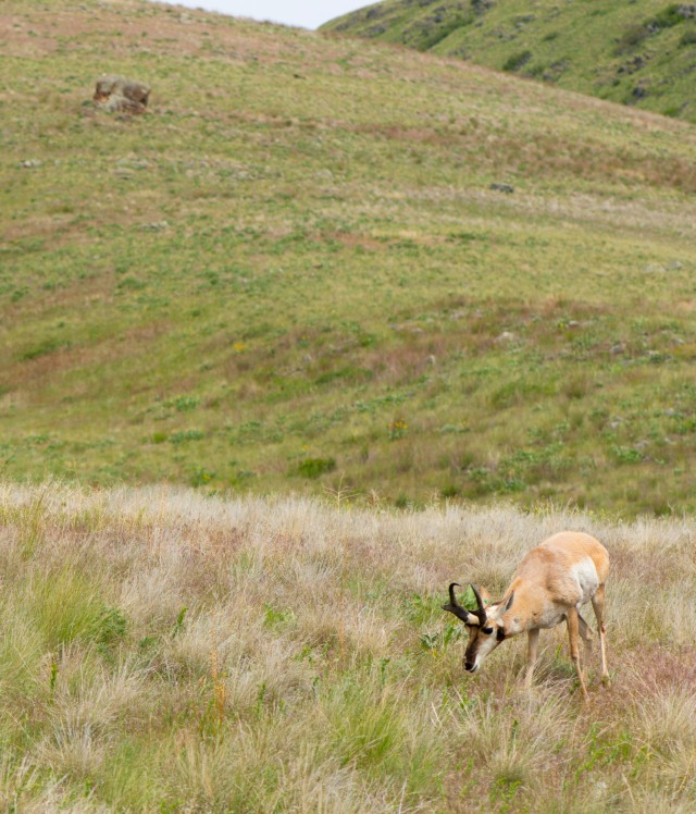 A pronghorn in the National Bison Range