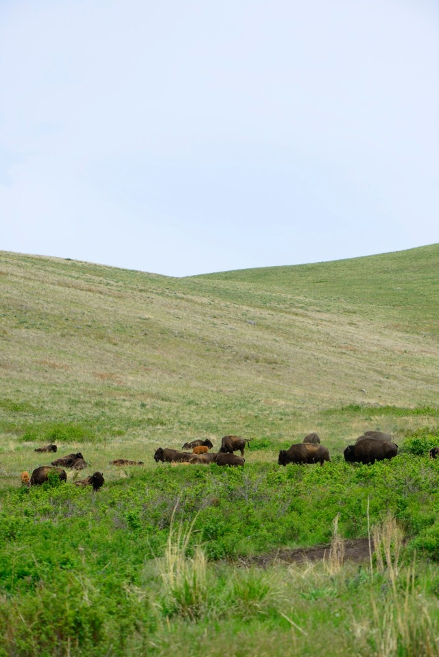 Emily took me up to the National Bison Range, where we saw... Bison.