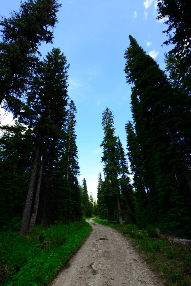A logging path through awesome pine forest.