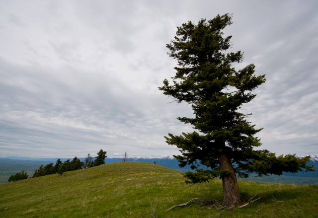This gnarly pine tree grows near the top of the mountain around which the National Bison Range lies.