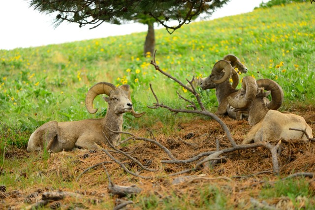 Bighorn sheep resting by the road.