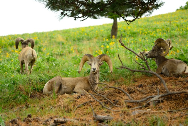 These Bighorns lined themselves up quite nicely for a well-balanced shot.